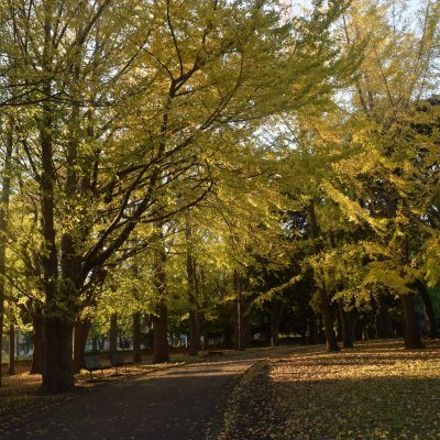 2017 秋の銀杏並木 ( 根岸森林公園 )